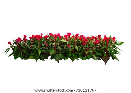 red flower bush tree isolated with clipping path #710121907