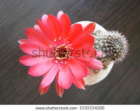 Red flower cactus, Mammillaria cactus flower. cactus flower in close up. #1535154200