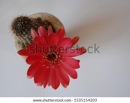 Red flower cactus, Mammillaria cactus flower. cactus flower in close up. #1535154203