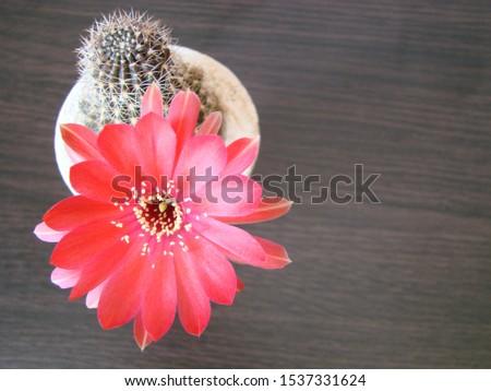 Red flower cactus, Mammillaria cactus flower. cactus flower in close up. #1537331624
