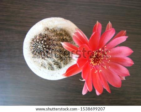 Red flower cactus, Mammillaria cactus flower. cactus flower in close up. #1538699207