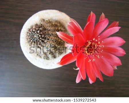 Red flower cactus, Mammillaria cactus flower. cactus flower in close up. #1539272543