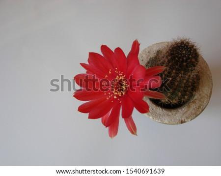 Red flower cactus, Mammillaria cactus flower. cactus flower in close up. #1540691639