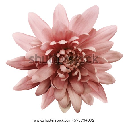 Photo of red flower chrysanthemum.  garden flower.  white  isolated background with clipping path.  Closeup. no shadows.  Nature.