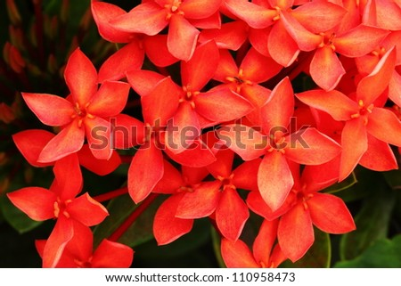 Red flower close-up West Indian Jasmine.scientific name Ixora chinensis Lamk.