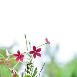 red flower ,Combretum indicum (Akar Dani, Drunken Sailor, Rangoon Creeper) high key, white background , shallow dept of field and soft focus process, natural background