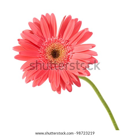 Red flower gerbera with water drops isolated on white background
