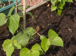Red Flower Heads and Green Leaves of Home Grown Organic Runner Bean Plants (Phaseolus coccineus) Growing Up a Bamboo Cane Wigwam on an Allotment in a Vegetable Garden in Rural Devon, England, UK