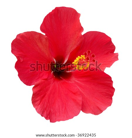 Red flower- Hibiscus rosa sinensis, isolated on white