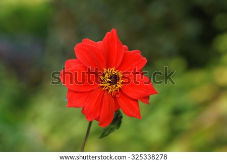 Red flower isolated on green foliage background
