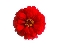 Red Flower Isolated on White Background,Zinnia.