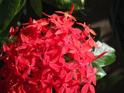 Red flower, Needle flower, West Indian Jasmine, jungle flame, Red spike flower, King Ixora flower, Red Bunga Soka (Ixora chinensis Lamk) blooming beautifully, with water droplets and the sun shines.