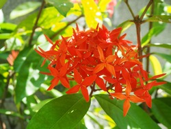 Red flower, Needle flower, West Indian Jasmine, jungle flame, Red spike flower, King Ixora flower, Red Bunga Soka (Ixora chinensis Lamk) blooming beautifully with sunshines.