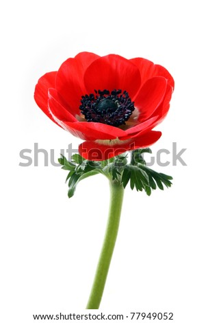 Red flower of anemone on a white background