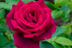 Red flower of hybrid tea Rose Chrysler Imperial