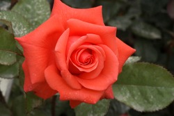 Red flower of hybrid tea Rose Lady Rose