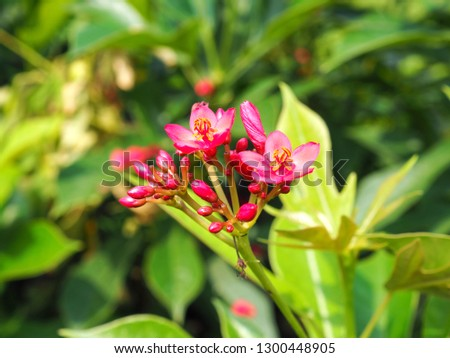 red flower of Jatropha plants on green leaves background . Scientific name: Jatropha integerrima . Other name: Physic nut , Nettlespurge , Peregrina , Fire cracker . its has toxin seeds