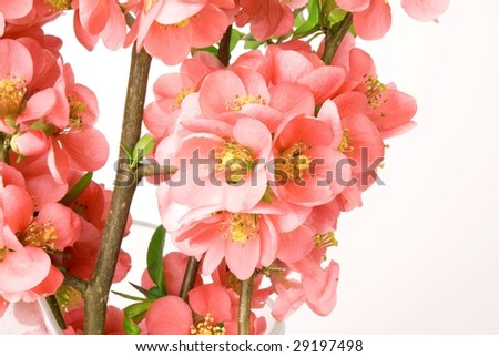 Red flower of quince on white background