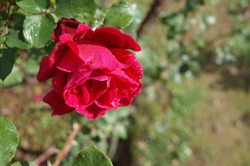 Red Flower of Rose 'Victor Hugo' in Full Bloom