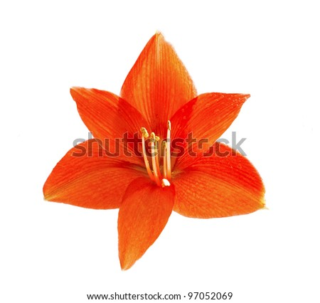 red flower of the lily
