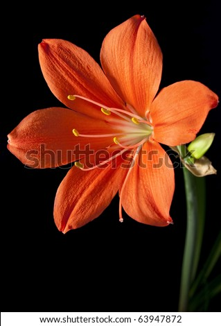 red flower on a black background, isolated