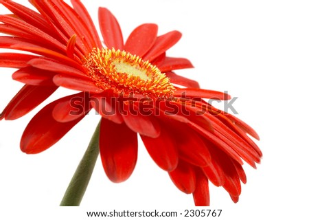 Red flower on a white background... - stock photo