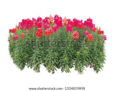 red flower plant  bush tree isolated with clipping path on white background #1324819898