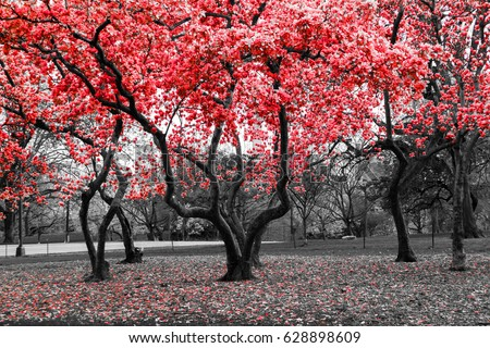 Red flower trees blossom in a black and white landscape scene #628898609