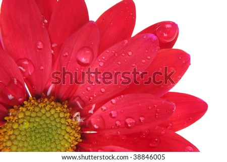 Red flower with rain dew drop son petals, isolated on white. Contains clipping path.