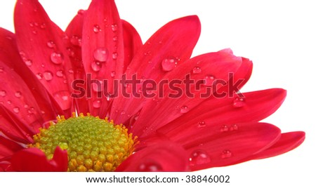 Red flower with rain dew drops on petals, isolated on white. Contains clipping path.