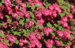 red flowering currant bush, close-up