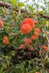 Red flowering gum - Red flowers, gum nuts & eucalyptus leaves  -  Belair, South Australia
