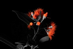 Red flowering gum selective colour effect isolated on black background