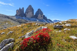 Red flowers and view of Tre Cime di Lavaredo, Dolomites Mountains, Italy