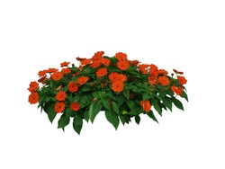 Red Flowers bush tree isolated on white background,Objects with Clipping Paths