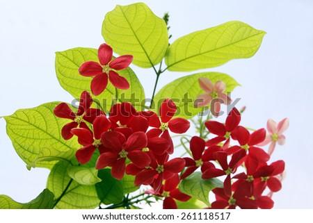 Red flowers exotic lianas Combretum indicum