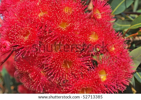 red flowers gum tree eucalyptus phytocarpa australian native, close up