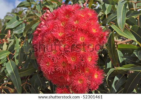 red flowers gum tree eucalyptus phytocarpa on the blue sky background