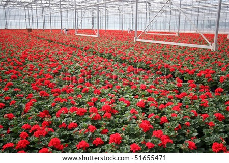 Red flowers in a greenhouse