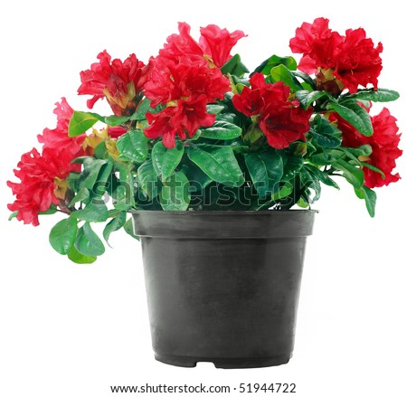 Red flowers in a plastic pot on a white background