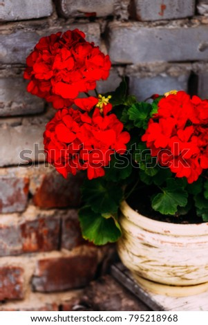 Red flowers in a pot in the background of a brick wall. Nature background close-up