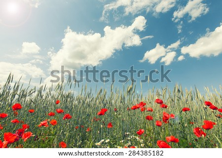 red flowers in wheat filed on sunny spring day