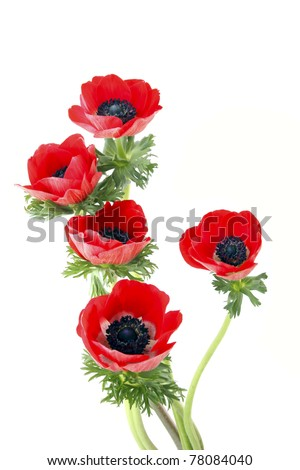 Red flowers of anemone on a white background