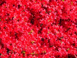 Red flowers of azalea in full bloom in spring. Intense bright red color. A beautiful spring scene. Rhododendron simsii