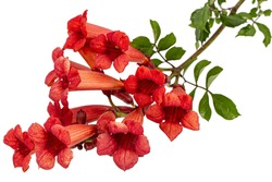 Red flowers of Campsis, radicans grandiflora (trumpet creeper vine) climbing blooming liana plant, isolated on white background