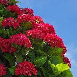 Red flowers of hydrangea ( Hydrangea macrophylla ) in garden on sunny summer day