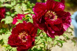 Red flowers of large peony blooming in the garden