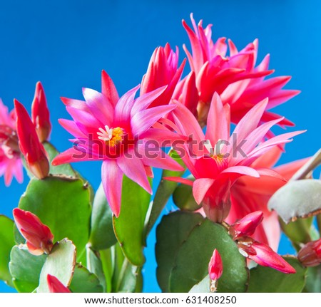 Red flowers of Schlumbergera against blue background #631408250