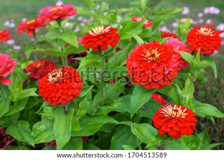 Red flowers of Zinnia elegans, common zinnia or elegant zinnia in the formal garden Stock fotó ©