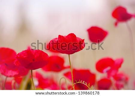 red flowers-red poppy